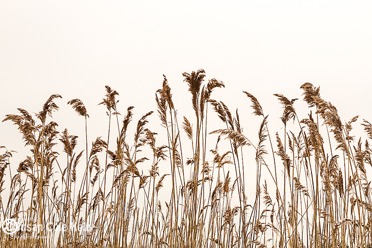 Reeds on Belle Isle Inlet, Boston, Massachusetts, USA