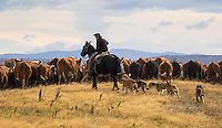 Vaquero herding cattle near Puerto Natales, Patagonia, Chile