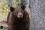 Large male black bear. Grand Teton National Park, Wyoming.
