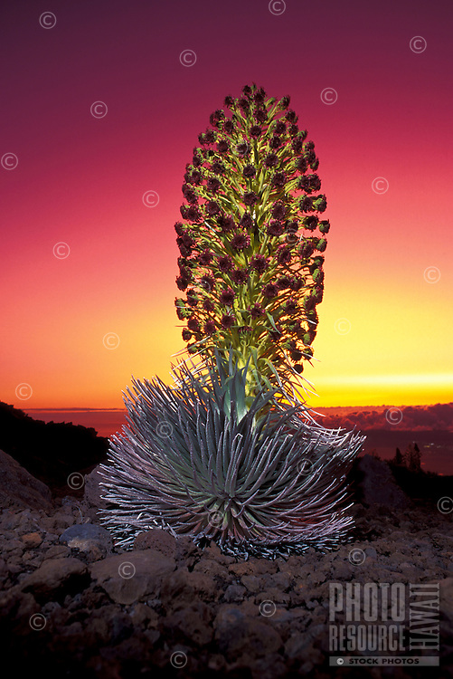 Silversword in full bloom at Haleakala Crater, Maui.  The ashes from Pina Tubo eruption made for some spectacular sunsets and actually dimmed the sunlight enough to trigger an enornmous amount of silversword blooms.