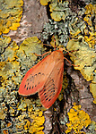Rosy Footman Moth, Miltochrista miniata, on lichen covered tree trunk. .United Kingdom....