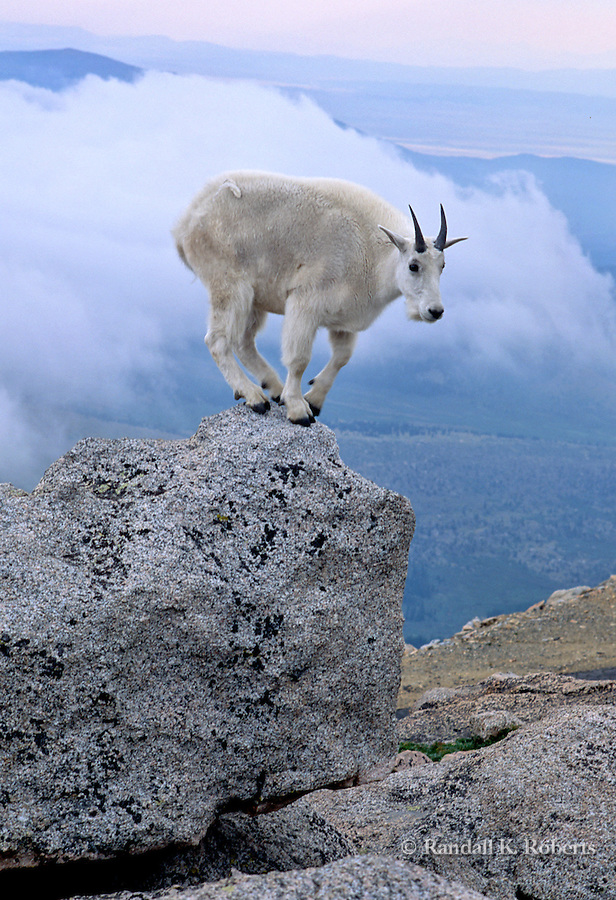 Mountain goat (Oreamnos americanus)  balances on a rock near the summit of Mt. Evans, Colorado