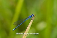 06084-001.04 Springwater Dancer damselfly (Argia plana) male in fen, Phelps Co., MO