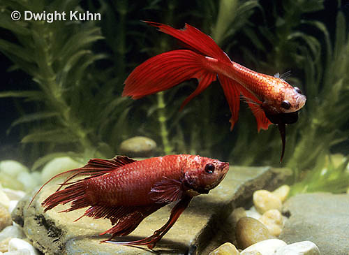 BY01-014z  Siamese Fighting Fish - male chasing and biting a rival male - Betta splendens