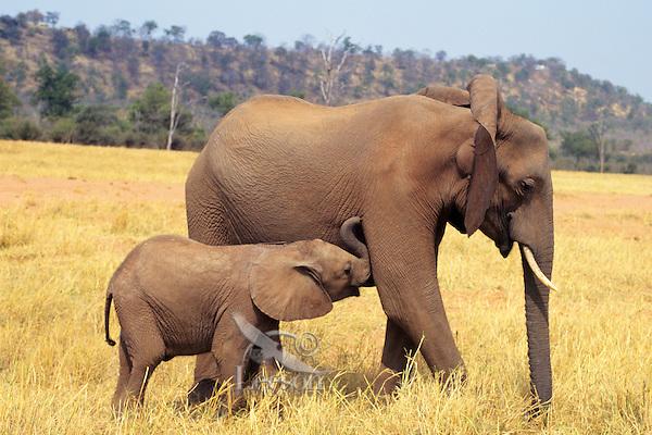 African elephant (Loxodonta africana) cow with young calf.  Matusadona National Park, Zimbabwe.  Calf is wanting to nurse.