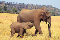 African elephant (Loxodonta africana) cow with young calf.  Matusadona National Park, Zimbabwe.  Calf is wanting to nurse.