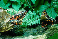 Three toed box turtle lifts foot to shoo away a red spotted purple butterfly, Limenitis arthemis, from a small water hole