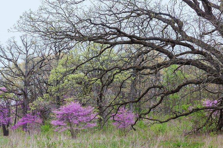 Redbud trees in bloom and spring green in early spring at The Morton Arboretum; DuPage County, IL