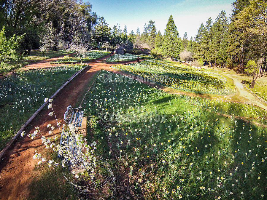 Daffodil Hill, Amador County, Calif. in spring from low-level quadcopter flight.