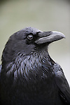 Profile of a raven, California.
