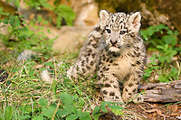 Snow Leopard kitten standing amongst the forest greenery - CA