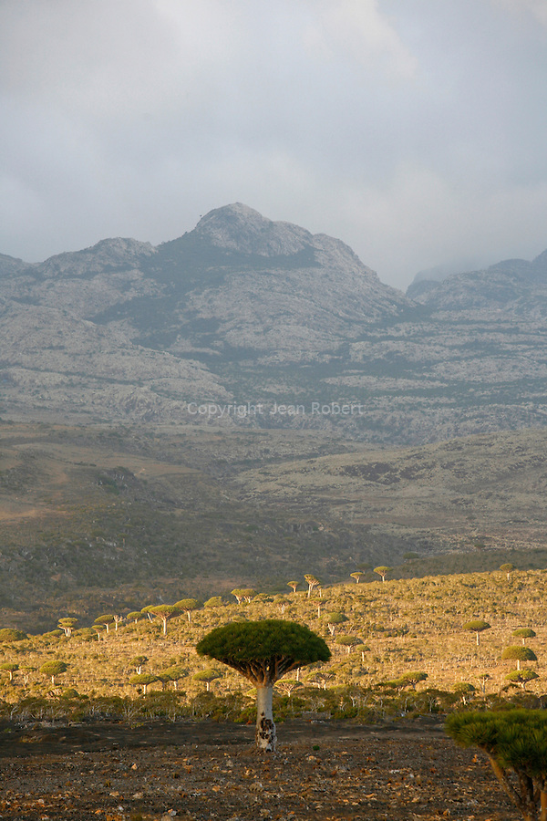 Dragon's blood tree (dracanea cinnabari) on the Diksam plateau. Socotra island. Yemen