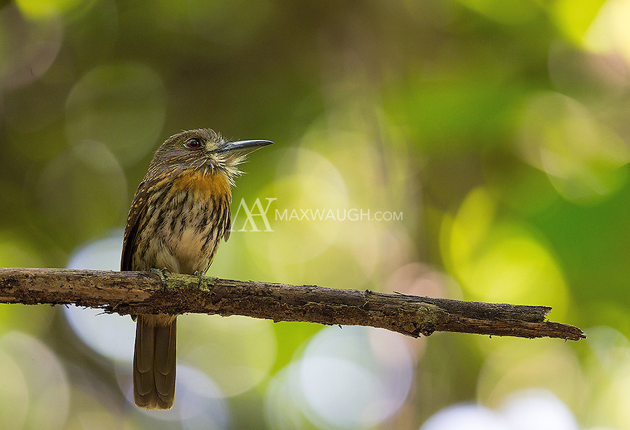 I often see White-whiskered puffbirds in Corcovado.