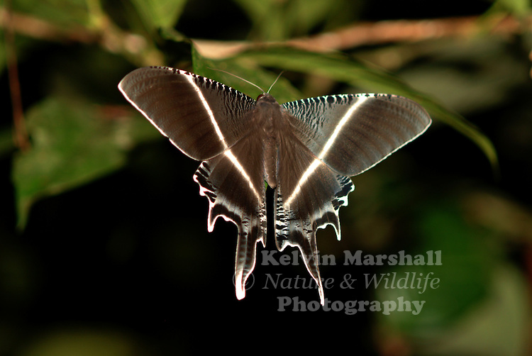The Malaysian brown moth, its scientific name is Lyssa zampa. It is a species of moth from the Uraniidae family commonly found in Malaysia and Indonesia. It's normal wing span is between 100-160mm and flies from June to August. Its larvae feeds on the endospermum species of plants.