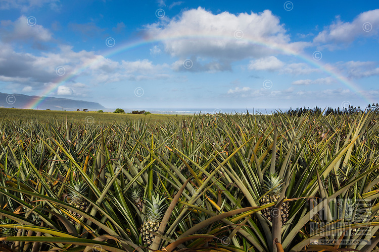 A rainbow frames pineapples in a field on the North Shore of O'ahu