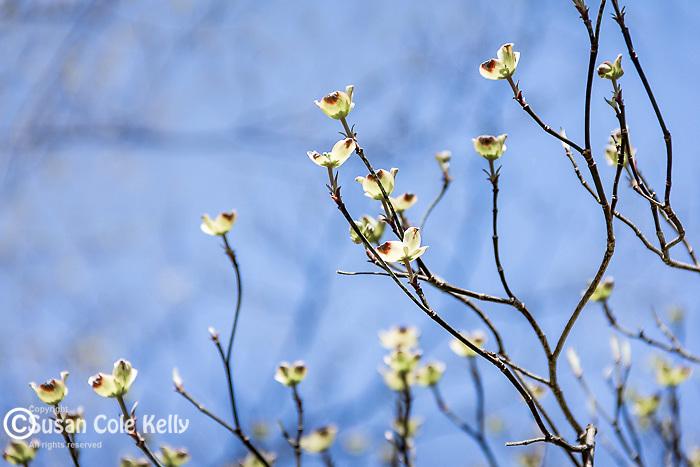 Dogwood blossoms at the Arnold Arboretum in the Jamaica Plain neighborhood, Boston, Massachusetts, USA