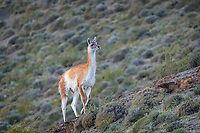 """A South American camelid species closely related to the Llama, the Guanaco (Lama guanicoe) (from Quechua word """"Huanaco"""" - Wanaku"""" in Spanish) is a common sight in Patagonia. Tall and heavy (up to 200 pounds), they are graceful and can run fast (up to 40 mph). We spotted this one descending a hill after spotting a Puma with 2 small cubs near the peak."""
