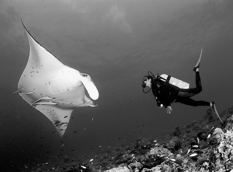 Giant manta ray (Manta birostris) in close proximity to a female diver