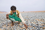 Indian Oil Sardine (Sardinella longiceps) fisherman collecting dried fish for food, Hawf Protected Area, Yemen
