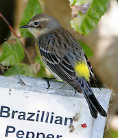 Adult female myrtle yellow-rumped warbler in breeding plumage