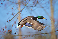Mallard duck drake (Anas platyrhynchos) flying, Winter.  Pacific N.W.