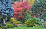 Vashon-Maury Island, WA: Autumn colors in perennial garden with Japanese maple, blue spruce and pine at Froggsong Gardens