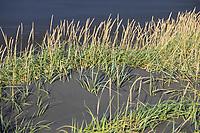 Strandroggen, Strand-Roggen, Blauer Helm, Leymus arenarius, Elymus arenarius, sand ryegrass, sea lyme grass,  lyme grass, le seigle de mer, le élyme des sables, Island, Strand