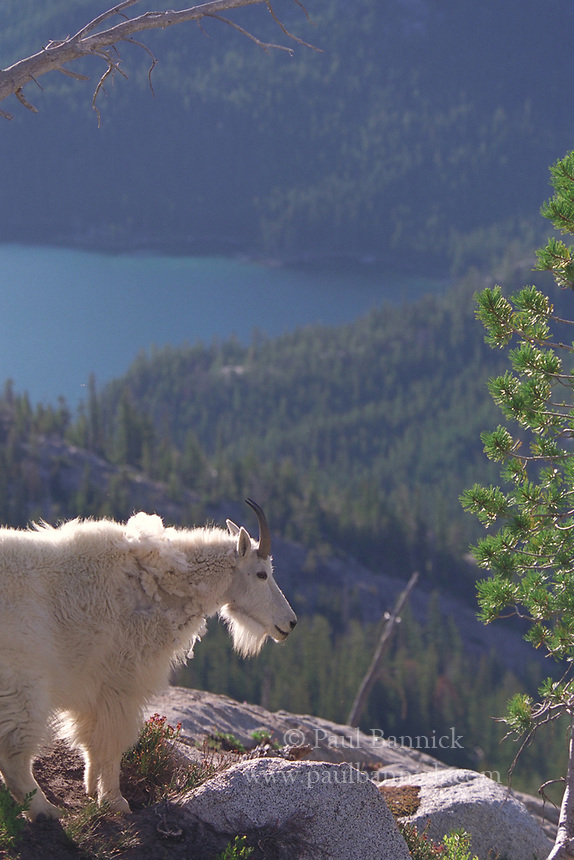 A Mountain Goat stands on a ledge in the Enchantments with Snow Lake in the background.