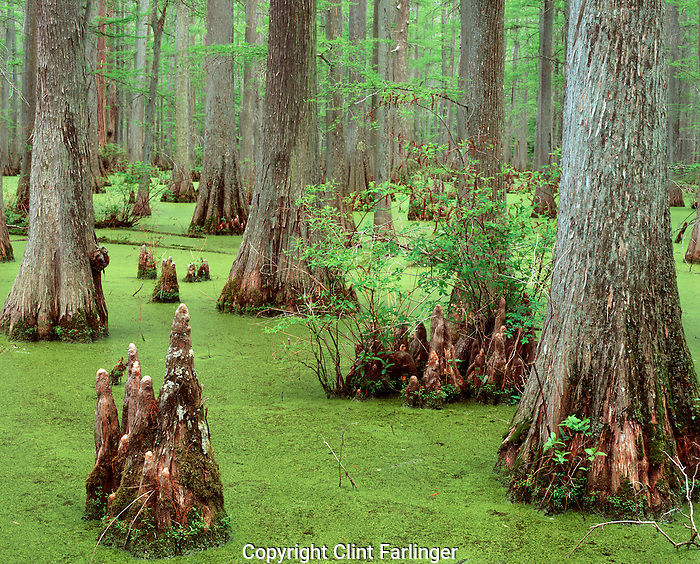 Baldcypress in Heron Pond, Cache River State Natural Area, Illinois