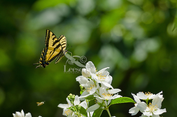 Western Tiger Swallowtail Butterfly (Papilio rutulus) flying with honeybee.  Pacific Northwest,  Summer.