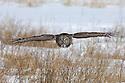 00830-048.17 Great Grey Owl in flight on silent wings over grassy meadow.  Predator, raptor, bird of prey.  H8F1
