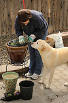 Matisse Weigle spring flower planting with dog helping