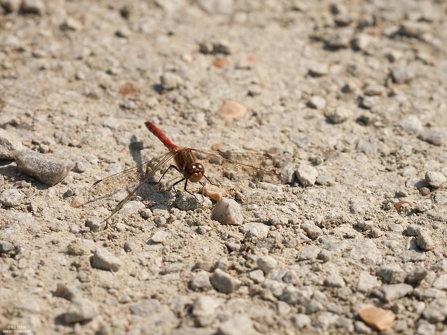Male Common Darter {Sympetrum striolatum} at Dungeness RSPB nature Reserve