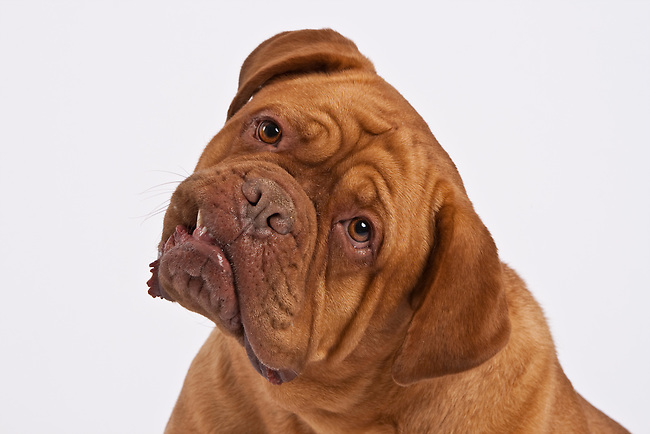 Jowly Dogue de Bordeaux dog headshot white background head tilted questioningly