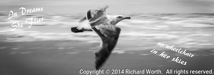 Gull in black and white flies by with ocean surf in the background.  Added text in the image:  In Dreams She Flies.  no wheelchair in her skies.  Cropped to 8.5 X 3.