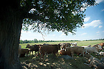 Cattle, sheltering from heat, shade, under tree, tree, beef cattle, calf, calves,