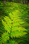 Fern and grasses, Beech gap community,  Global Conservation Status Rank G1 - Critically Imperiled