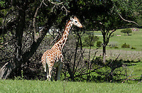 A Giraffe hangs out at Fossil Rim Wildlife Center in Glen Rose, Texas, April 25, 2010. Fossil Rim Wildlife Center Park offers 1,700 acres with 1,100 animals which roam freely in large pastures. ..PHOTOS/ MATT NAGER