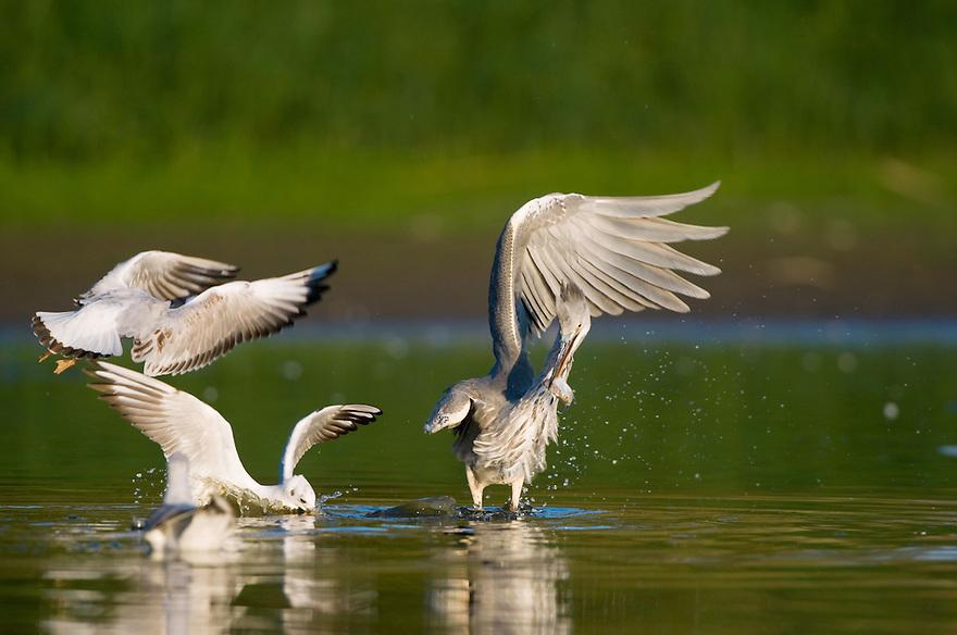 Mission: Black Storks River Elbe Germany; Biosphärenreservat Niedersächsische Elbtalaue; Biosphere Reserve Middle Elbe; Graureiher; Grey Heron; Ardea cinerea; Lachmoewe; Black-headed Gull; Larus ridibundus
