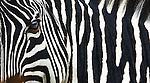 Zebra portrait, Ngorongoro Conservation Area, Tanzania