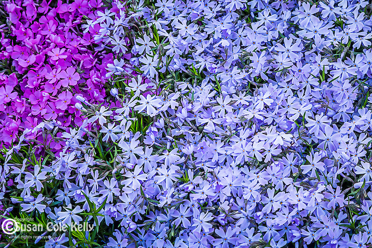 Phlox on the Rose Fitzgerald Kennedy Greenway, Boston, Massachusetts, USA