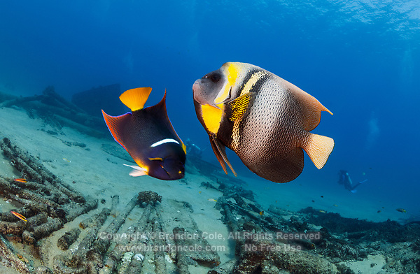 TW4498-Drm. Two angelfish interacting with each other, swimming overtop scattered remains of El Vencedor shipwreck in Cabo Pulmo National Park. Cortez Angelfish (Pomacanthus zonipectus) on the right, King Angelfish (Holacanthus passer) on left. Baja, Mexico, Sea of Cortez, Pacific Ocean.<br /> Photo Copyright &copy; Brandon Cole. All rights reserved worldwide.  www.brandoncole.com