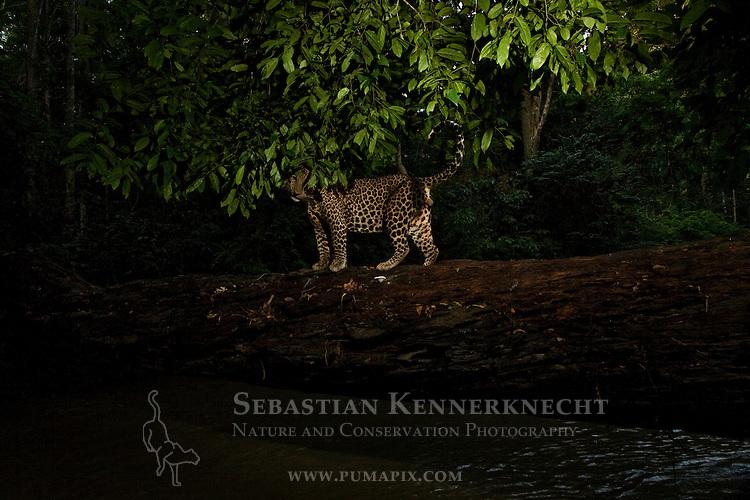 African Leopard (Panthera pardus) male crossing log bridge over river in tropical rainforest, Lope National Park, Gabon