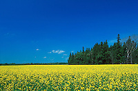 Scenic summer landscape of a bright yellow canola field under a deep blue sky.