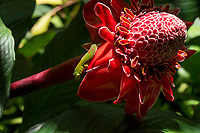 Green gecko on a large red torch ginger blossom at Hawaii Tropical Botanical Garden near Onomea Bay in Papa'ikou near Hilo, Big Island of Hawai'i.