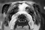 English Bulldog portret