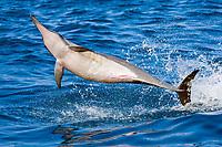 spinner dolphin, Stenella longirostris, leaping, Kailua Kona, Big Island, Hawaii, Pacific Ocean