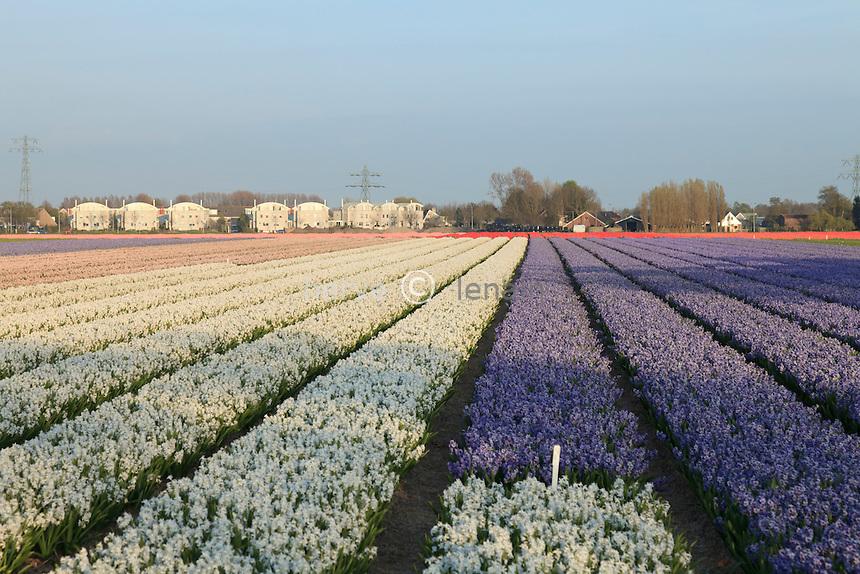"""Hollande, région des Champs de fleurs en avril, ici champ de jacinthes // Holland, """"Dune and Bulb Region"""" in April, here, field of hyacinths."""