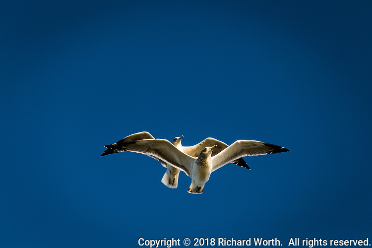 Two ring-billed gulls fly by, one above the other, against a blue sky.