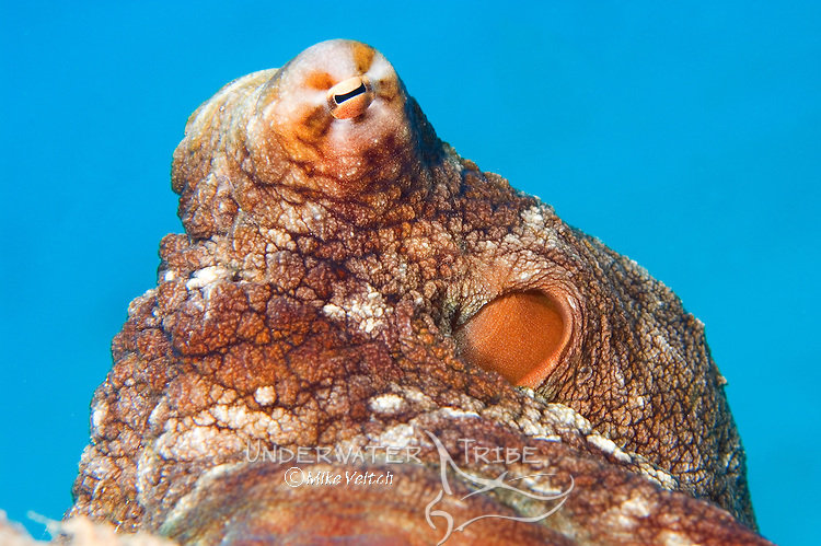 Octopus portrait, Octopus cyanea, Yap, Federated States of Micronesia, Pacific Ocean